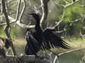 Anhinga Enjoying Morning